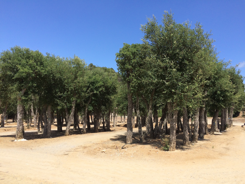 Rboles viveros de cardedeu for Vivero las magnolias