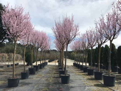 Vivers de Cardedeu – Prunus Cerasifera Pissardii
