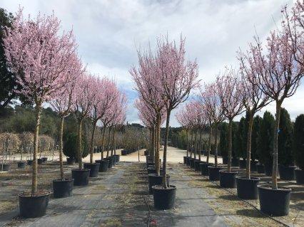 Vivers-de-Cardedeu-Prunus-Cerasifera-Pissardii-